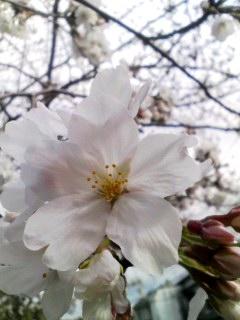 家の前の桜。