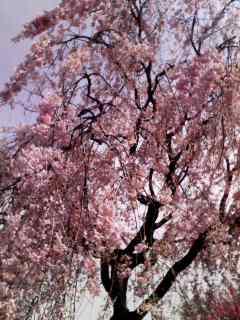 しだれ桜が満開です!