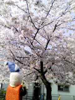 桜満開っ!