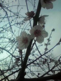 サクラです。早咲きなんです。