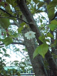 良い葉桜っぷりだ!